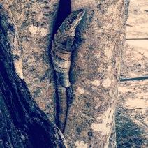 More Iguanas